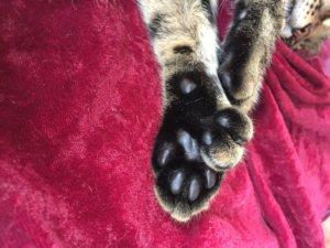 6本指の猫